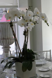 white_orchids_in_white_ceramic-hoome-gift